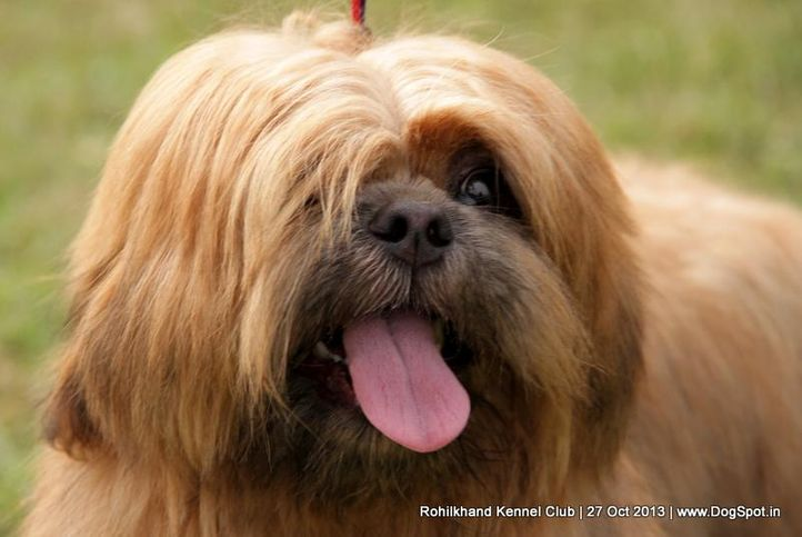 ex-26,lhasa apso,sw-95,, BARRY, Lhasa Apso, DogSpot.in