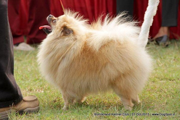 ex-6,pomeranian,sw-95,, SHOW MAGNET, Pomeranian, DogSpot.in
