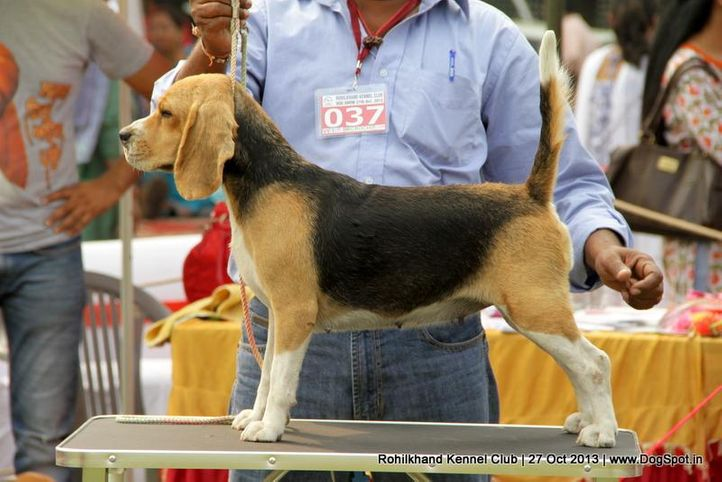beagle,ex-37,sw-95,, CHARLI, Beagle, DogSpot.in