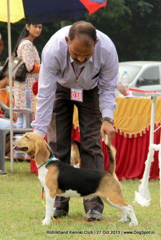 beagle,ex-38,sw-95,, AALIYA, Beagle, DogSpot.in