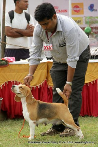 beagle,ex-39,sw-95,, WINALL'S RED IN THE RING, Beagle, DogSpot.in