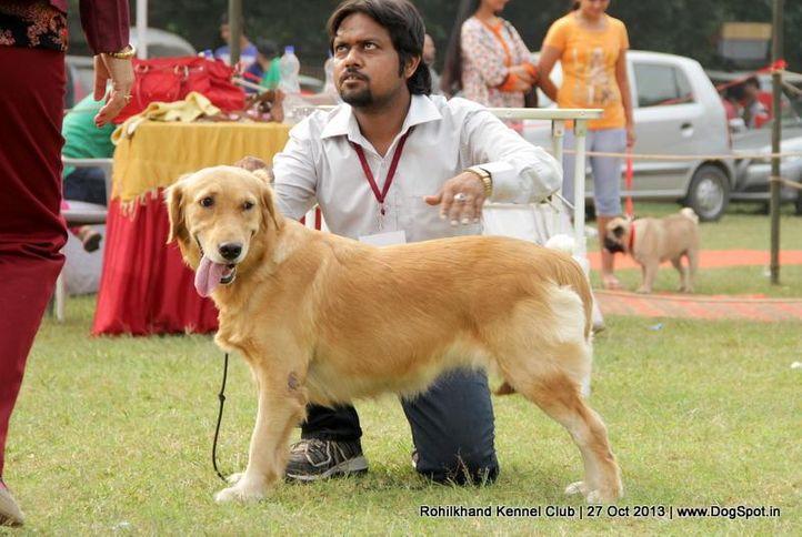 golden retriever,sw-95,, Rohilkhand Dog Show 2013, DogSpot.in