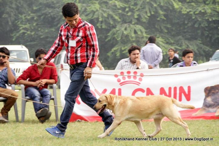 labrador retriever,sw-95,, Rohilkhand Dog Show 2013, DogSpot.in