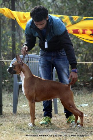 boxer,sw-74,, Rohilkhand Dog Show , DogSpot.in