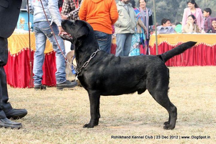 ex-55,labrador retriever,sw-74,, ASHA'S BOLLO, Labrador Retriever, DogSpot.in