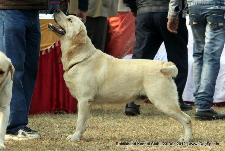 ex-73,labrador retriever,sw-74,, IND. CH. ROSY'S DESIGN MAKER, Labrador Retriever, DogSpot.in