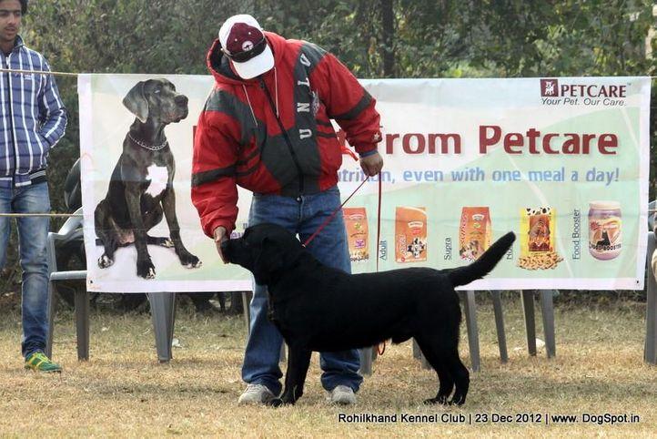 ex-54,labrador retriever,sw-74,, TIGER OF SPEED, Labrador Retriever, DogSpot.in