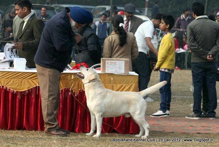 labrador retriever,sw-74,, Rohilkhand Dog Show , DogSpot.in