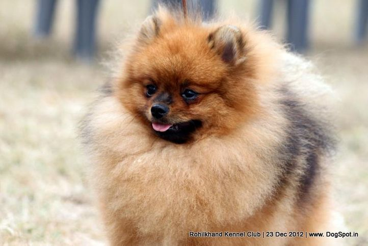 ex-3,pomeranian,sw-74,, Pomtherapist Paradise Kiss, Pomeranian, DogSpot.in