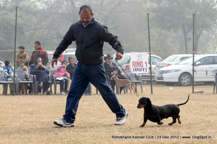 dachshund,ex-39,sw-74,, DEYWOO'S EXCALIBER, Dachshund Standard- Smooth Haired, DogSpot.in