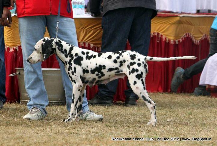 dalmatian,ex-24,sw-74,, TINSEE, Dalmatian, DogSpot.in