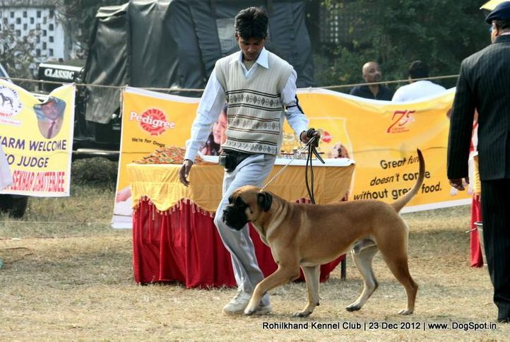 bull mastiff,sw-74,, Rohilkhand Dog Show , DogSpot.in