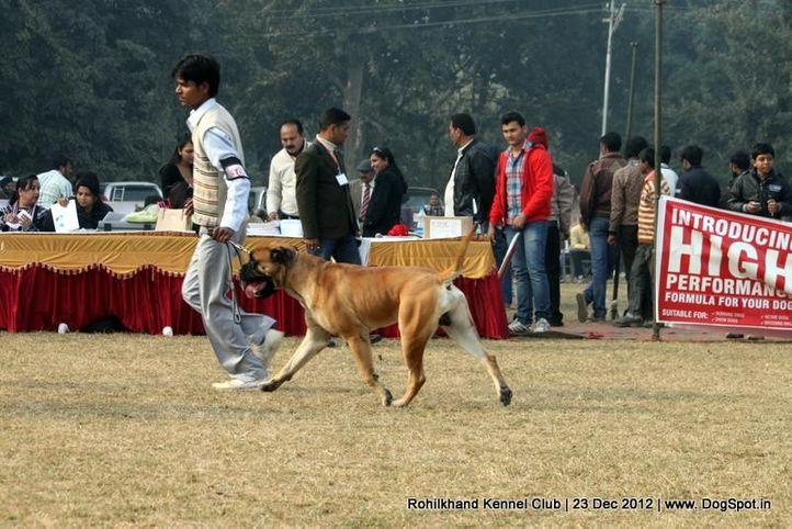 bull mastiff,ex-105,sw-74,, LIFE GUARD'S CERTAIN, Bullmastiff, DogSpot.in
