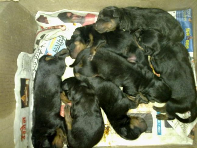 rott  pups, ROTT  PUPS, DogSpot.in