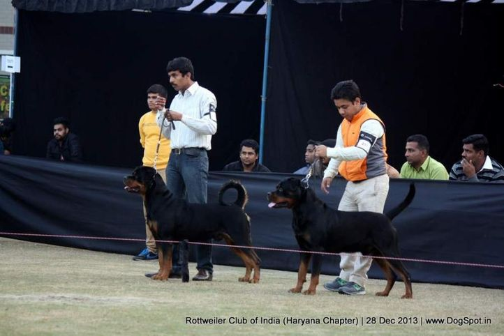 rottweiler,, Rottweiler Club Of India (Haryana Chapter) , DogSpot.in