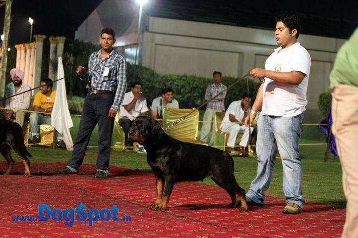 sw-36, delhi,ex-22,rottweiler,rottweiler speciality show,, RENI FROM NOAMI STAR, Rottweiler, DogSpot.in