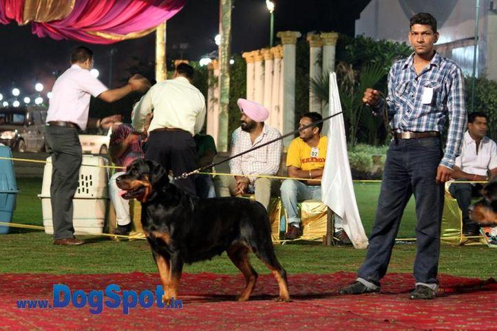 sw-36, delhi,ex-51,rottweiler,rottweiler speciality show,, PYTHON, Rottweiler, DogSpot.in