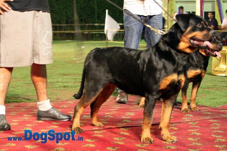 sw-36, delhi,ex-42,rottweiler,rottweiler speciality show,, Bruna Ausdershwetkang, Rottweiler, DogSpot.in