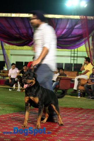 sw-36, delhi,ex-43,rottweiler,rottweiler speciality show,, Rottweiler Speciality 2011 April, DogSpot.in