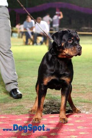 sw-36, delhi,ex-47,rottweiler,rottweiler speciality show,, CUTIEPIE, Rottweiler, DogSpot.in