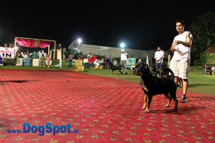 sw-36, delhi,ex-10,rottweiler,rottweiler speciality show,, BUDDY VOM GODDO, Rottweiler, DogSpot.in