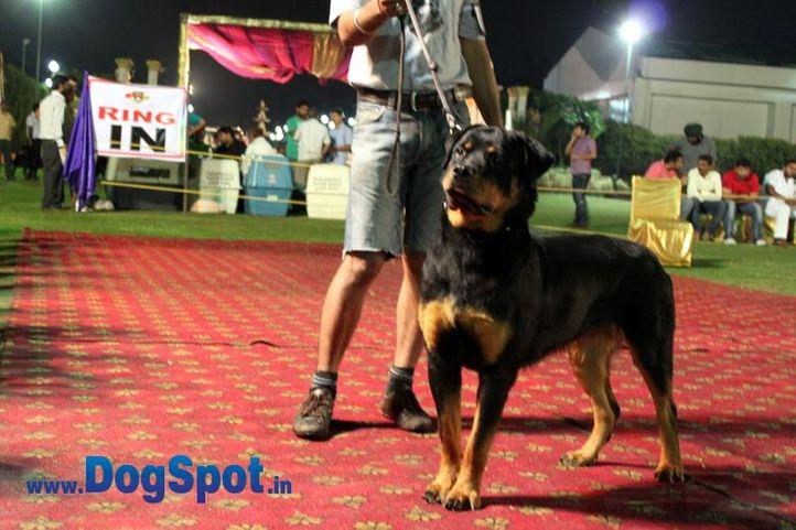 sw-36, delhi,ex-09,rottweiler,rottweiler speciality show,, AIMY VOM GODDO, Rottweiler, DogSpot.in