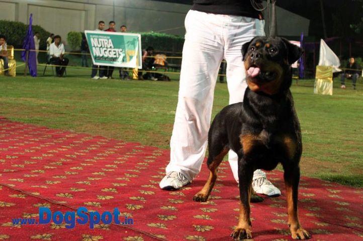 sw-36, delhi,ex-36,rottweiler,rottweiler speciality show,, ZZ KAO BUMBARIN, Rottweiler, DogSpot.in