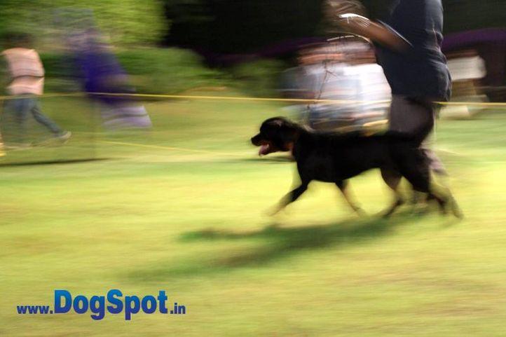 sw-36, delhi,ex-38,rottweiler,rottweiler speciality show,, OLGA OF SUNNYLAND, Rottweiler, DogSpot.in