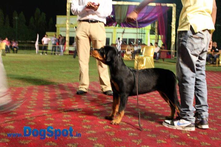 sw-36, delhi,ex-13,rottweiler,rottweiler speciality show,, CHRISTIE, Rottweiler, DogSpot.in