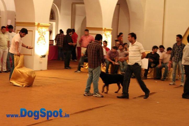 sw-36, delhi,indoor show,rottweiler,rottweiler speciality show,show ground,, Rottweiler Speciality 2011 April, DogSpot.in