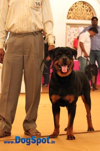 sw-36, delhi,ex-56,rottweiler,rottweiler speciality show,, ROBUST, Rottweiler, DogSpot.in