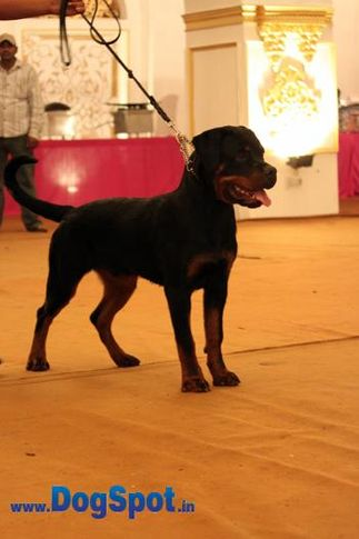 sw-36, delhi,ex-18,rottweiler,rottweiler speciality show,, GERO OF CARNIVOS, Rottweiler, DogSpot.in