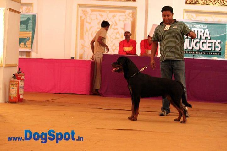 sw-36, delhi,ex-12,prashant,rottweiler,rottweiler speciality show,, ONEX OF SUNNY LAND, Rottweiler, DogSpot.in