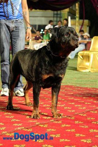 sw-36, delhi,ex-31,rottweiler,rottweiler speciality show,, SRB. IND. FALKO VON HAUS ZIZAKOV, Rottweiler, DogSpot.in