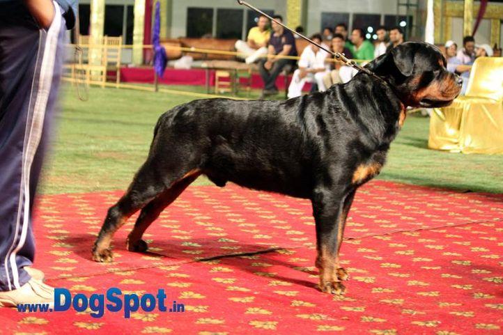 sw-36, delhi,ex-19,rottweiler,rottweiler speciality show,, IND. CH. ROSY'S CARLOS VON KELEMEN, Rottweiler, DogSpot.in