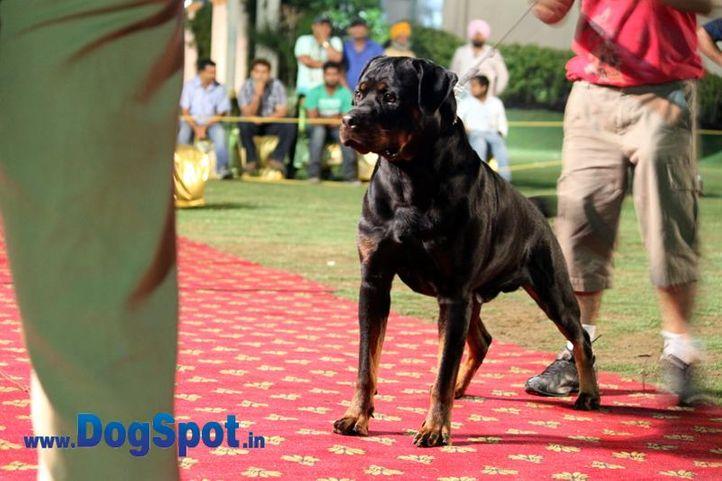sw-36, delhi,ex-16,rottweiler,rottweiler speciality show,, CIDO FLASH ROUSE, Rottweiler, DogSpot.in