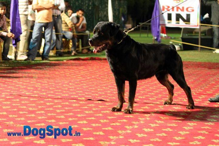 sw-36, delhi,ex-8,rottweiler,rottweiler speciality show,, FRODO VOM GRUBER HAUSE, Rottweiler, DogSpot.in