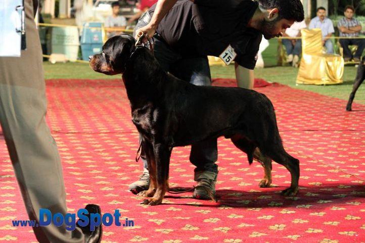 sw-36, delhi,ex-15,rottweiler,rottweiler speciality show,, BINGO VOM HAUS DRAZIC, Rottweiler, DogSpot.in