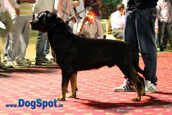 sw-36, delhi,ex-3,rottweiler,rottweiler speciality show,, TANGO CHARLIE, Rottweiler, DogSpot.in