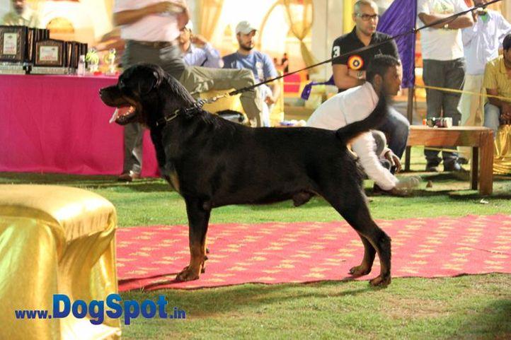 sw-36, delhi,ex-1,rottweiler,rottweiler speciality show,, IN. CH TH.SRB.JR.CH.CAI VON LENCHEN, Rottweiler, DogSpot.in