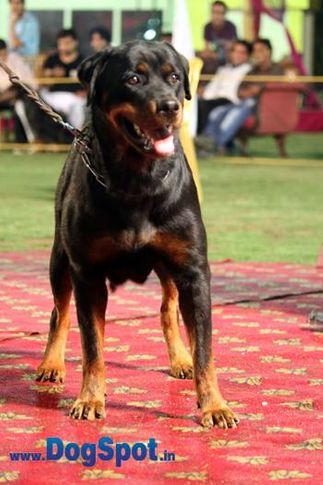 sw-36, delhi,rottweiler,rottweiler speciality show,, Rottweiler Speciality 2011 April, DogSpot.in