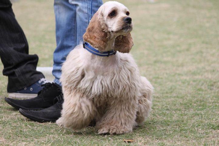 americian cocker spaniel,, Royal Kennel Club Dog Show 2011, DogSpot.in