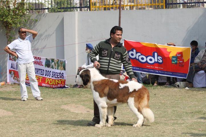 st bernard,, Royal Kennel Club Dog Show 2011, DogSpot.in