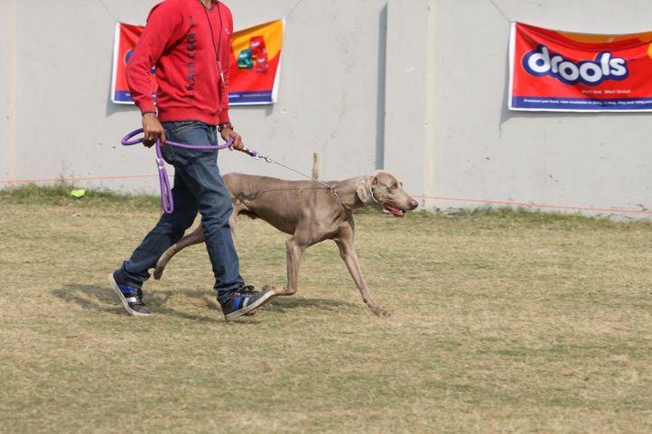 saluki,, Royal Kennel Club Dog Show 2011, DogSpot.in