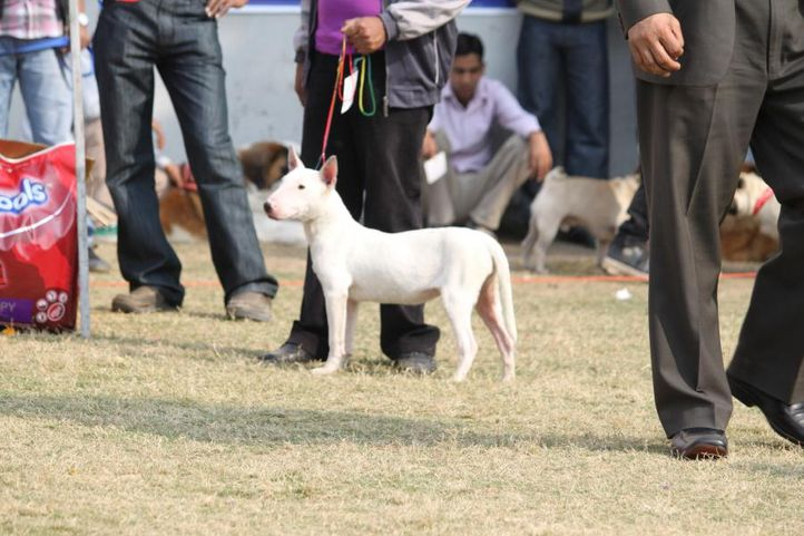 bull terrier,, Royal Kennel Club Dog Show 2011, DogSpot.in