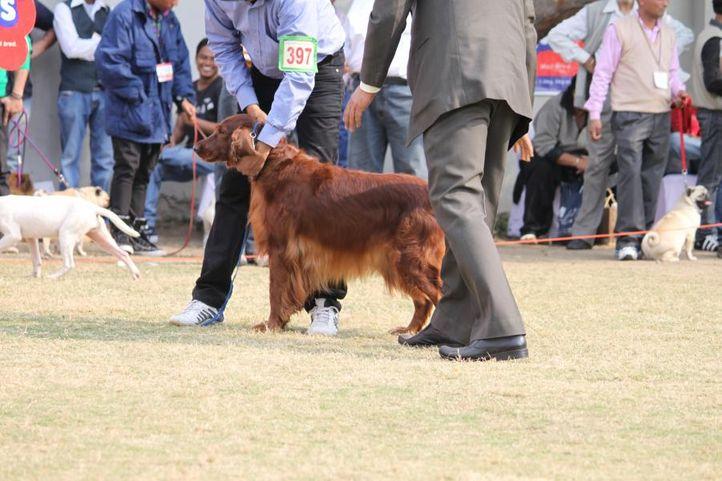 english cocker spaniel,, Royal Kennel Club Dog Show 2011, DogSpot.in