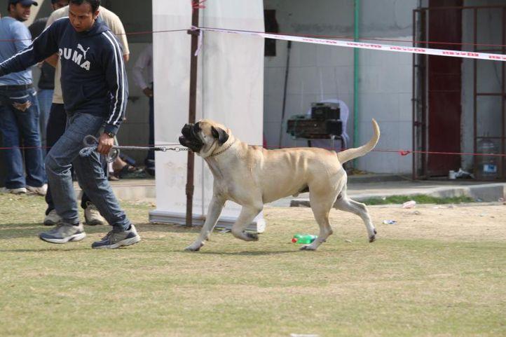 english mastiff,, Royal Kennel Club Dog Show 2011, DogSpot.in