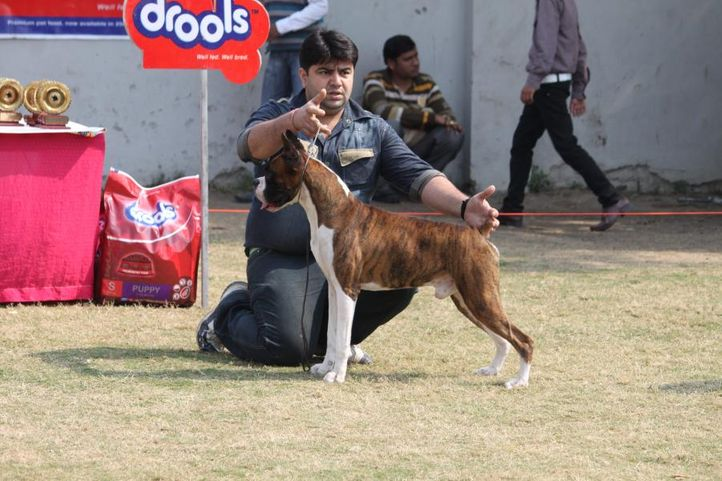 boxer,, Royal Kennel Club Dog Show 2011, DogSpot.in