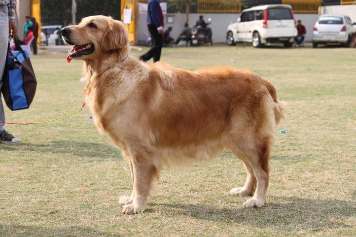 golden retriever,, Royal Kennel Club Dog Show 2011, DogSpot.in