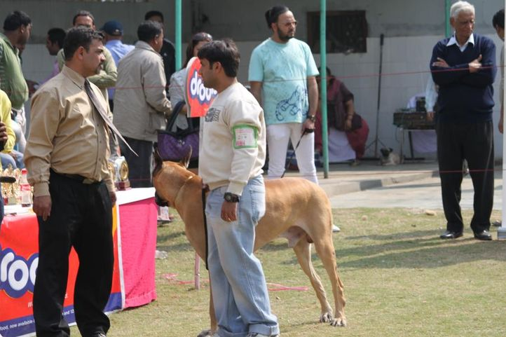 great dane,, Royal Kennel Club Dog Show 2011, DogSpot.in